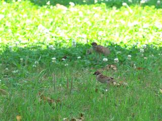 草原のスズメたち