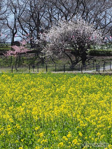 菜の花畑と桜の花