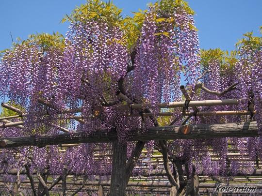 亀戸天神社の藤棚