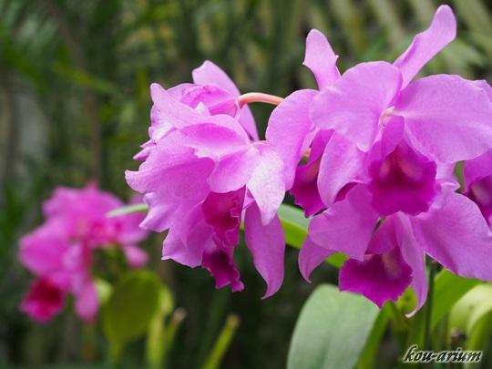 C. ファビンギアナ「Taiwan」