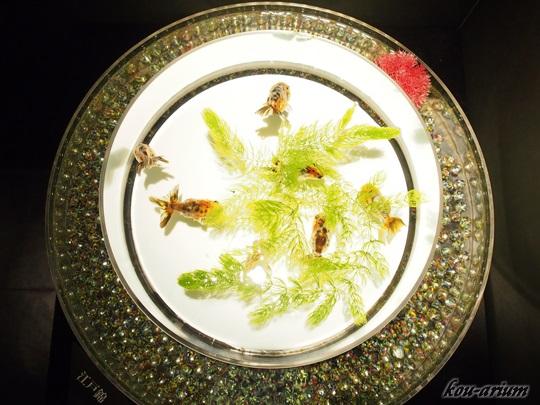 アートアクアリウムの金魚