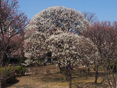 隅田公園の梅園